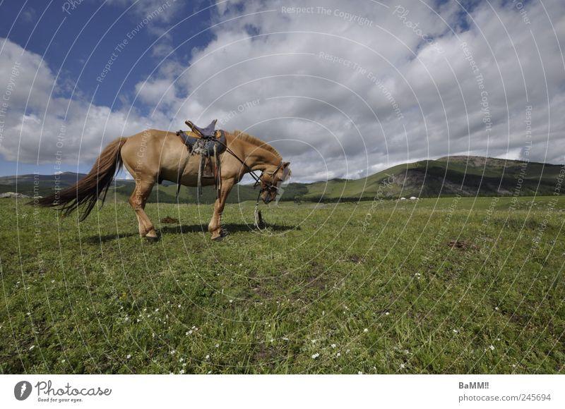 wind im haar Berge u. Gebirge Reiten Reitsport Natur Landschaft Tier Himmel Sommer Schönes Wetter Hügel Steppe Pferd 1 atmen wandern frei Unendlichkeit Mongolei