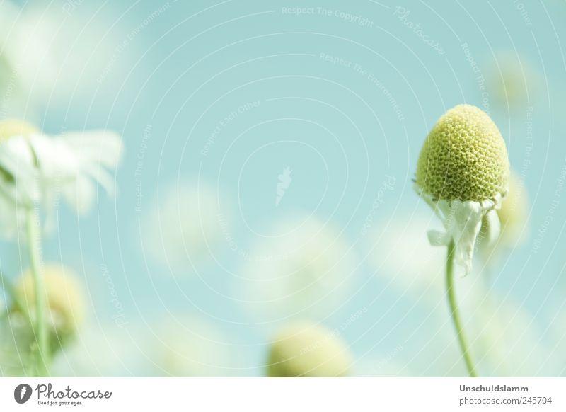 Haarausfall Umwelt Natur Pflanze Himmel Sommer Blume Blüte Wildpflanze Kamille Garten Wiese verblüht dehydrieren authentisch hell natürlich trocken blau gelb