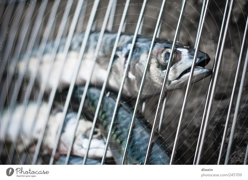 Oui, c´est vendredi! Lebensmittel Fisch Ernährung Bioprodukte Grillrost Grillsaison Tier Tiergesicht Schuppen Makrele Tiergruppe lecker geschmackvoll Farbfoto