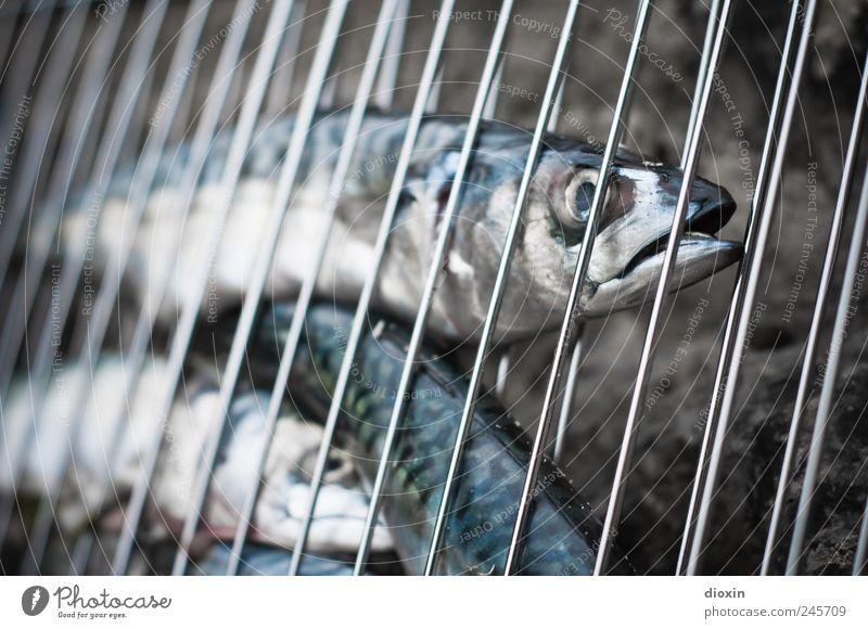 Oui, c´est vendredi! Tier Lebensmittel Ernährung Tiergruppe Fisch Tiergesicht lecker Bioprodukte Grillrost geschmackvoll Schuppen Makrele Grillsaison