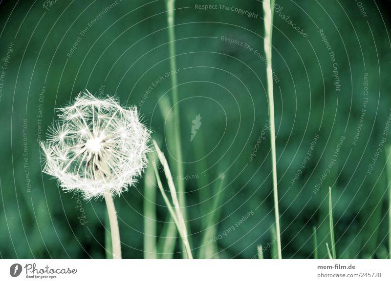 blume pusten.... Pflanze Luft Gras Blüte Energie Farbfoto Außenaufnahme Detailaufnahme Makroaufnahme Textfreiraum rechts Textfreiraum oben Tag