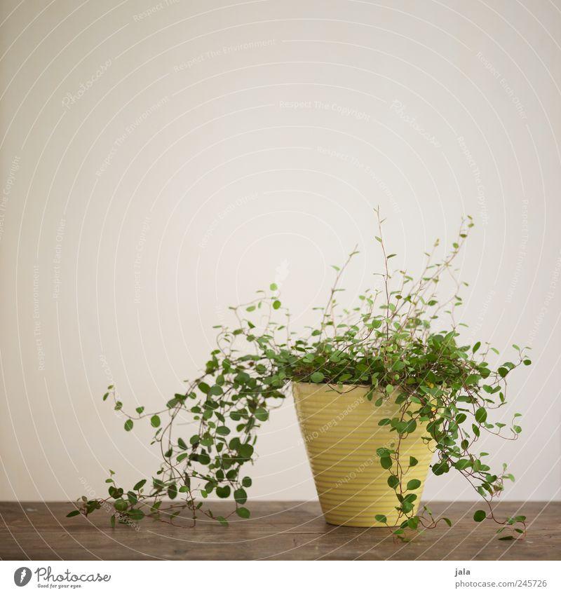 zimmerpflanze Wohnung Dekoration & Verzierung Tisch Pflanze Topfpflanze ästhetisch Blumentopf Farbfoto Innenaufnahme Menschenleer Textfreiraum links