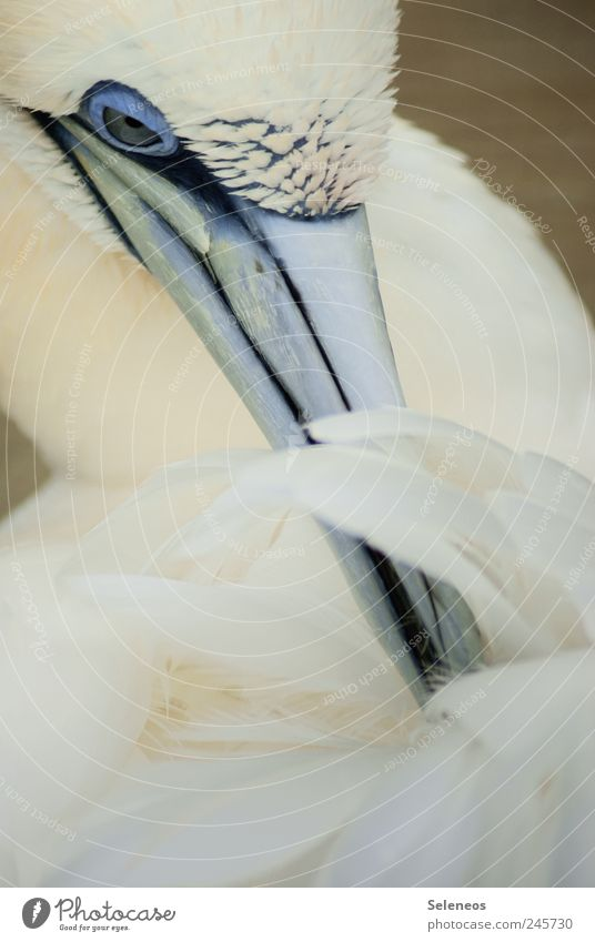 Basstölpel Ferien & Urlaub & Reisen Tourismus Ausflug Sommer Tier Vogel Tiergesicht Flügel Zoo 1 nah Sauberkeit weich Natur Umwelt Tierliebe Schnabel Reinigen
