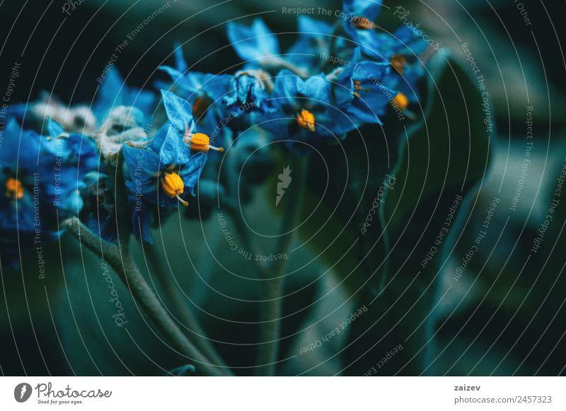 Nahaufnahme der blauen und gelben Blüten von Solanum giganteum in der Natur schön Sommer Garten Umwelt Pflanze Baum Blume Sträucher Blatt Grünpflanze