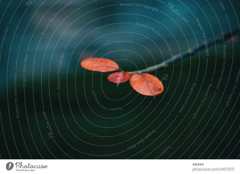Nahaufnahme von drei kleinen roten Berberis thunbergii Blättern im Herbst Sommer Garten Dekoration & Verzierung Umwelt Natur Pflanze Baum Sträucher Blatt