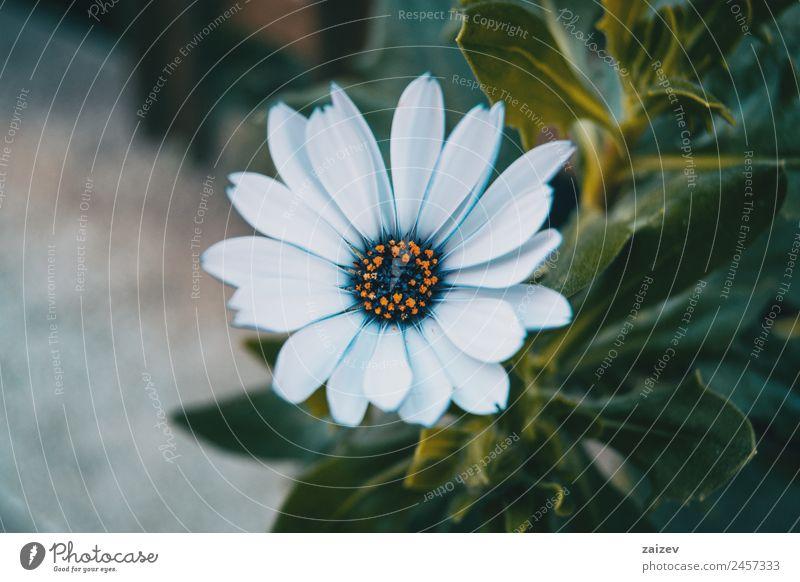 weiße Blume von Osteospermum ecklonis Sommer Garten Tapete Umwelt Natur Pflanze Sträucher Blatt Blüte Wildpflanze Park Wiese Feld Wald dunkel natürlich blau