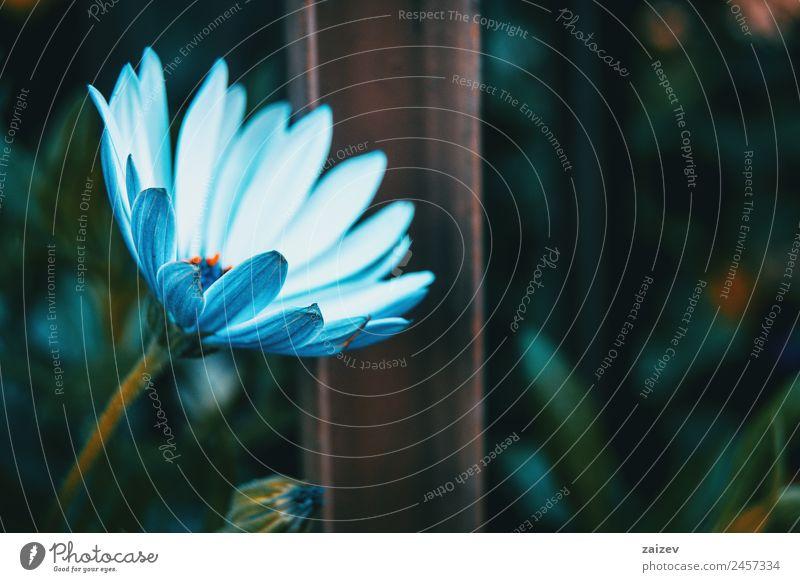 Nahaufnahme einer isolierten weißen Blüte von Osteospermum ecklonis in der Natur Sommer Garten Tapete Umwelt Pflanze Blume Blatt Grünpflanze Nutzpflanze