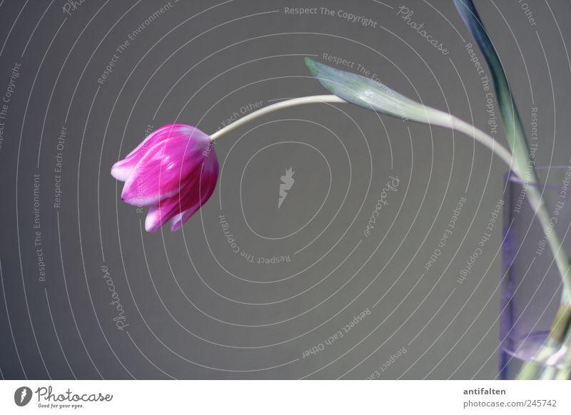 Die pinke Tulpe Natur Pflanze Blume Blatt Blüte Dekoration & Verzierung Blumenvase Vase Glas Wasser Duft schön grau rosa Stillleben trist Stengel Blütenkelch