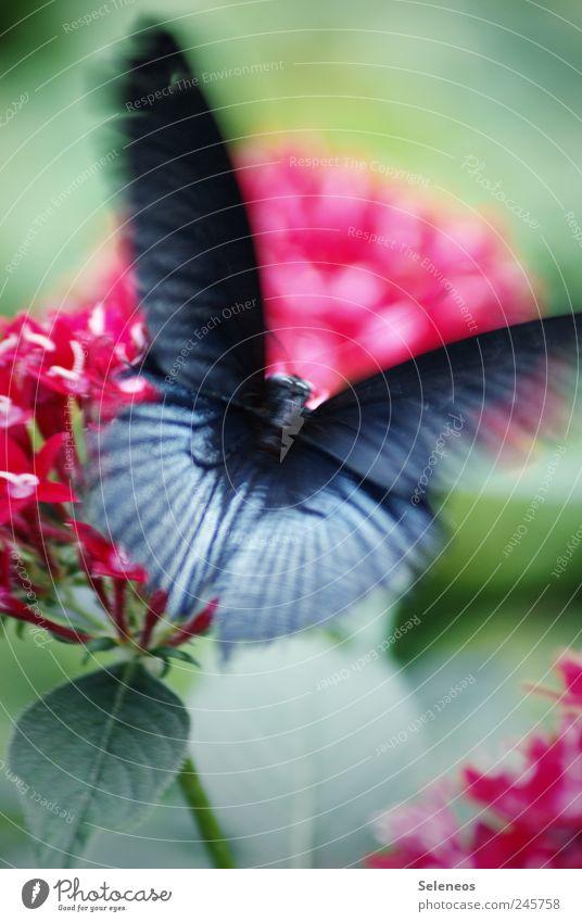 Butterfliege Sommer Umwelt Natur Schönes Wetter Pflanze Blume Blatt Blüte Garten Park Wiese Tier Schmetterling 1 fliegen exotisch Geschwindigkeit schwarz