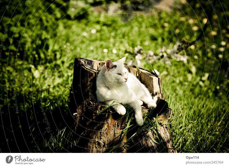 Der König thront Natur grün weiß Pflanze Sommer Tier schwarz Wiese Umwelt Landschaft Holz Garten Gras Katze Park Wetter