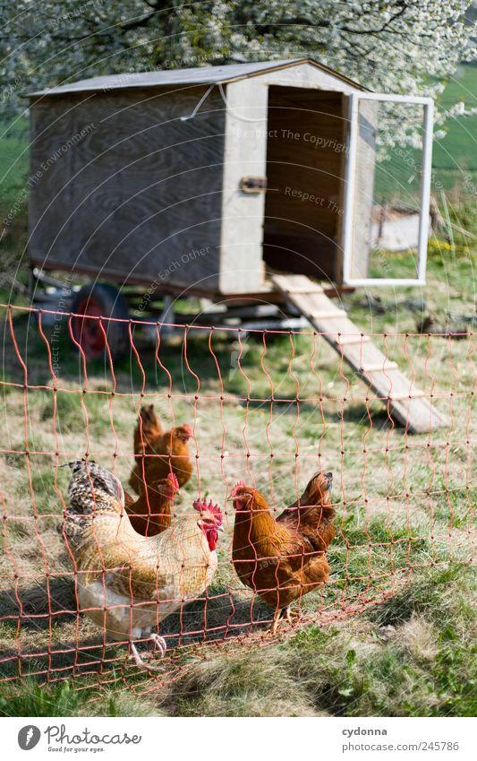 Der Hahn und seine Hühner Natur ruhig Umwelt Wiese Leben Frühling Bewegung Glück Vogel Tiergruppe einzigartig Idylle Gelassenheit Zaun Hütte Zusammenhalt