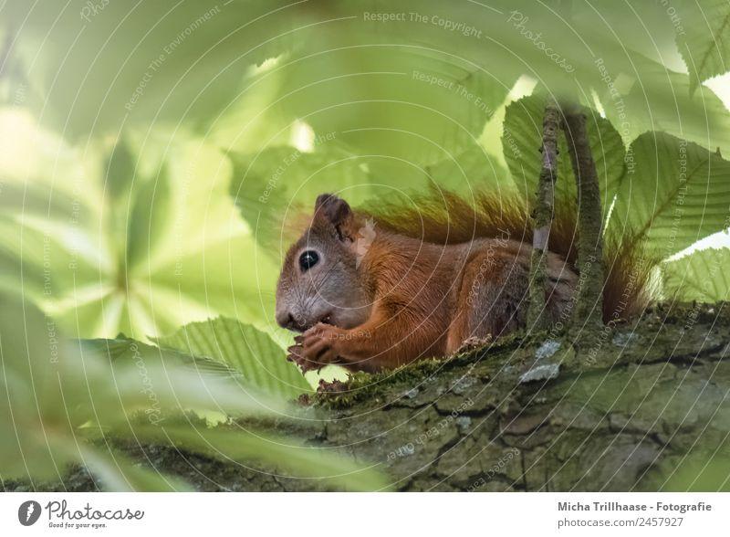 Fressendes Eichhörnchen im sonnigen Baum Natur grün Sonne Tier Blatt Wald Essen gelb Auge klein orange leuchten Ernährung Wildtier genießen
