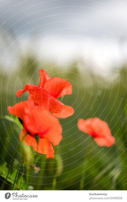 Mohnblumen im Feld Natur Pflanze Frühling Schönes Wetter Blüte Grünpflanze Wildpflanze Blühend Duft schön grün rot Stimmung Lebensfreude Frühlingsgefühle