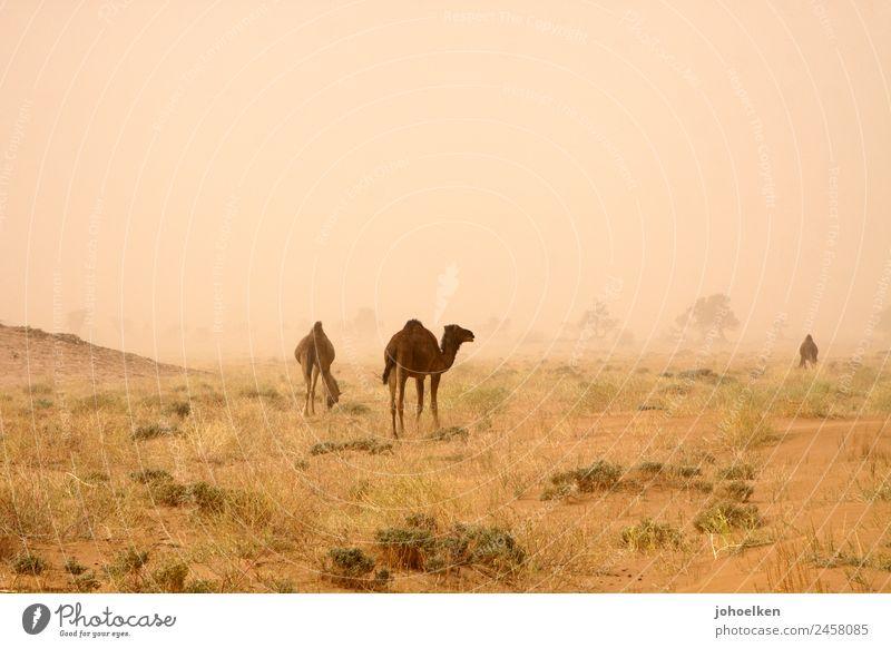 Apocalypse Now Sand Sturm Wärme Dürre Rucola Wüste Sahara Afrika Menschenleer Tier Nutztier Dromedar Kamel 3 Tiergruppe Fressen stehen dehydrieren bedrohlich