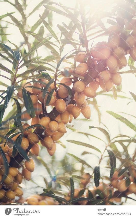 Sommerlicht Natur Pflanze Schönes Wetter Baum Grünpflanze Wildpflanze natürlich Frucht Sanddorn Farbfoto Außenaufnahme Nahaufnahme Detailaufnahme Makroaufnahme