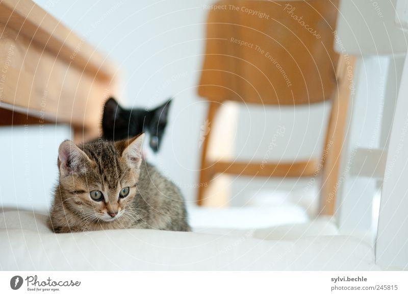 So ein Katzenleben ... weiß Katze ruhig Tier Erholung Holz braun Zufriedenheit Tierjunges Wohnung liegen Tisch Häusliches Leben Stuhl beobachten Neugier