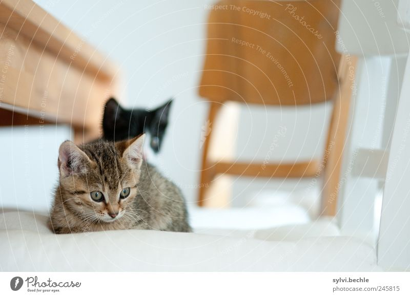 So ein Katzenleben ... weiß ruhig Tier Erholung Holz braun Zufriedenheit Tierjunges Wohnung liegen Tisch Häusliches Leben Stuhl beobachten Neugier