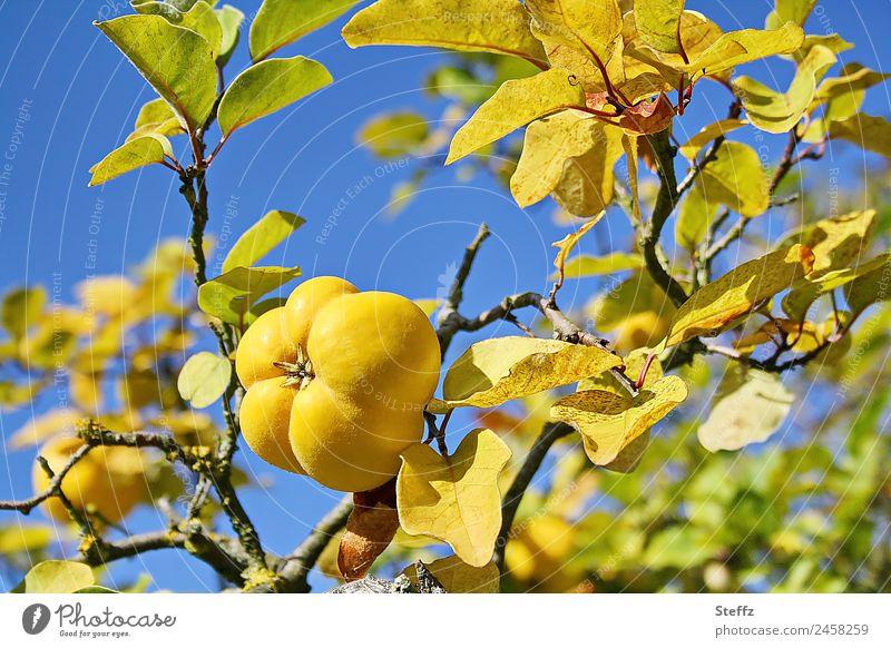 Pflückreife Quitte Frucht Baumfrucht Kernobst Natur Herbst Schönes Wetter Nutzpflanze Quittenbaum Quittenblatt Cydonia Garten Obstgarten blau gelb Herbstwetter