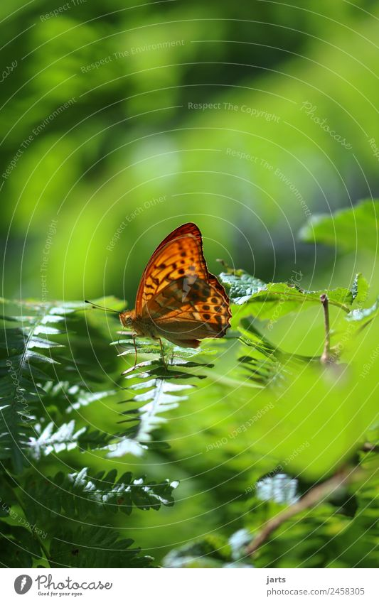 kaisermantel II Pflanze Sommer Herbst Schönes Wetter Farn Wald Wildtier Schmetterling 1 Tier sitzen elegant glänzend hell schön natürlich grün orange Natur