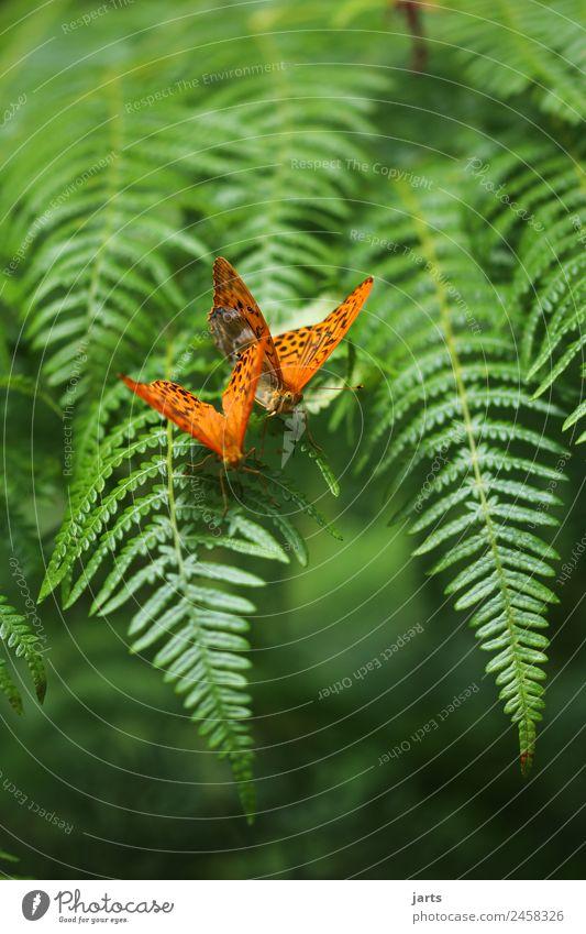 zwei kaisermantel auf einem farn Sommer Farn Wald Wildtier Schmetterling 2 Tier Tierpaar Liebe exotisch schön grün orange Sympathie Zusammensein Tierliebe