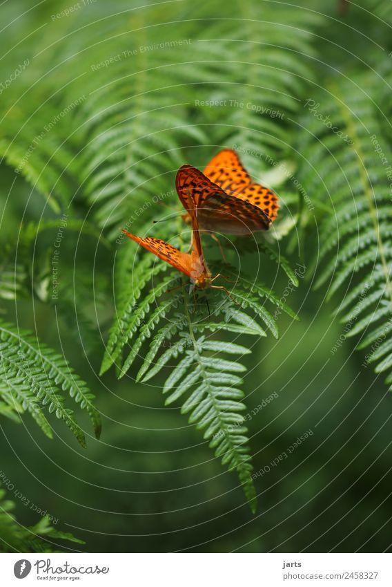 farn mit zwei kaisermantel Pflanze Tier Sommer Schönes Wetter Farn Wald Wildtier Schmetterling 2 Tierpaar Liebe exotisch schön natürlich grün orange Sympathie