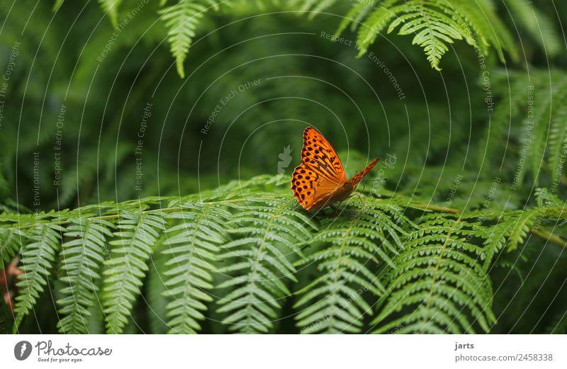 eins Pflanze Tier Schönes Wetter Wald Wildtier Schmetterling 1 schön natürlich grün orange Natur Kaisermantel Farbfoto Außenaufnahme Nahaufnahme Menschenleer