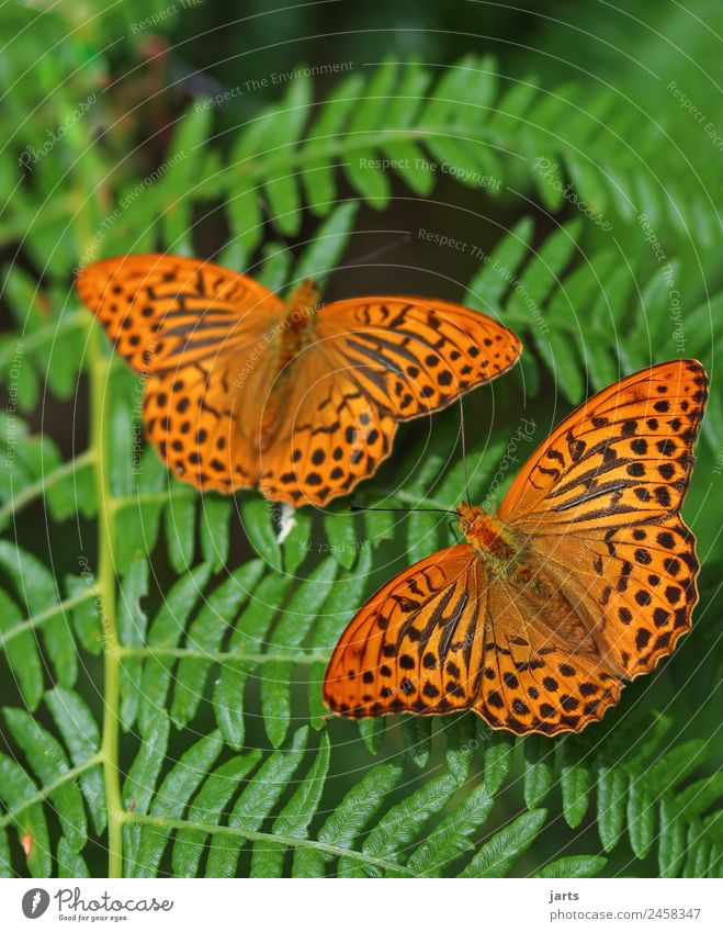 zusammen Natur Pflanze Tier Sommer Schönes Wetter Farn Wald Wildtier Schmetterling 2 Tierpaar frei schön Farbfoto Außenaufnahme Nahaufnahme Menschenleer