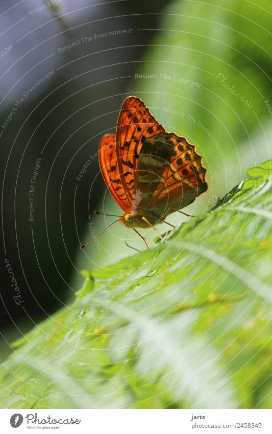 kaisermantel auf einem farn Sommer Schönes Wetter Farn Wald Wildtier Schmetterling 1 Tier sitzen ästhetisch exotisch schön natürlich orange Natur Kaisermantel
