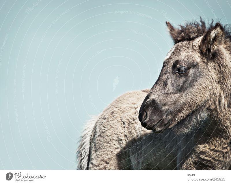 Mausgrau Umwelt Tier Luft Himmel Wolkenloser Himmel Schönes Wetter Fell Nutztier Wildtier Pferd Tiergesicht 1 Tierjunges klein niedlich wild blau Island