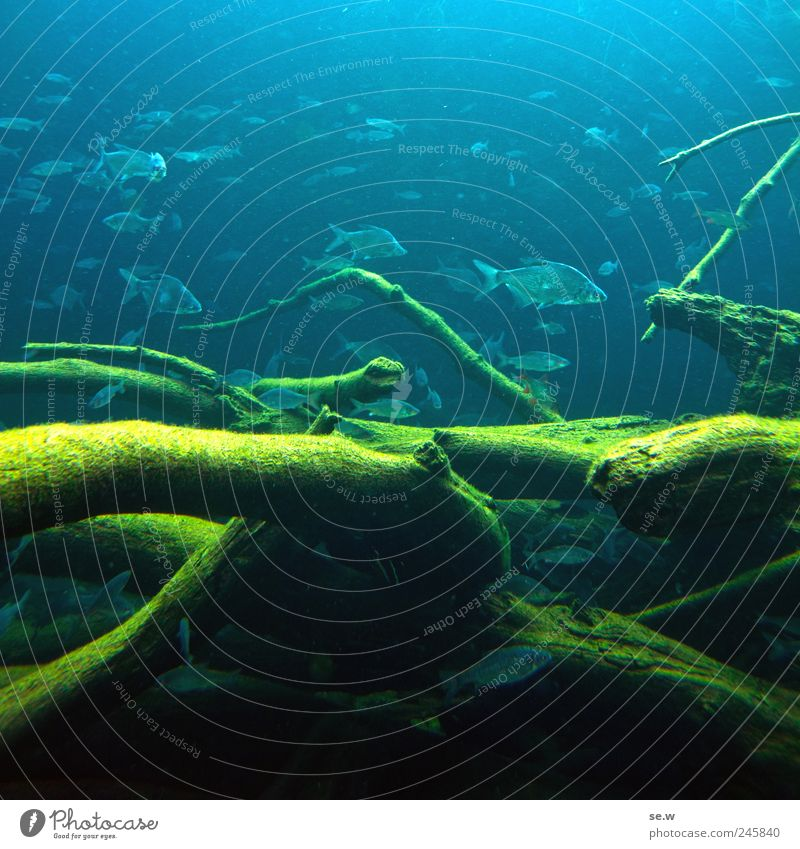 Schwarmintelligenz Wasser Ast Unterwasserpflanze Algen Fisch Zoo Aquarium Schwimmen & Baden blau mehrfarbig grün Farbfoto Unterwasseraufnahme Menschenleer