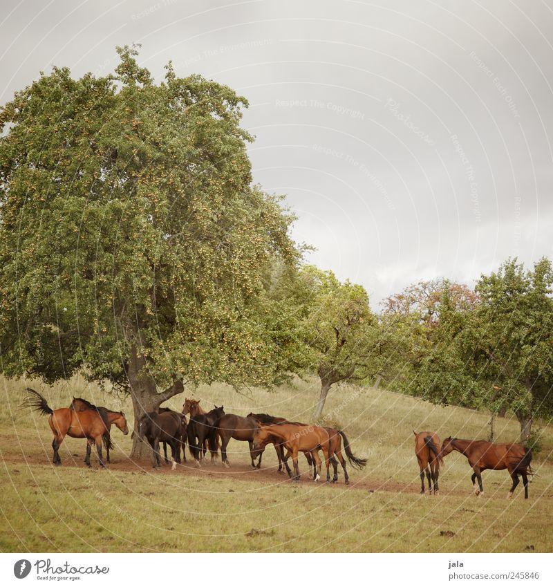 pferde Umwelt Natur Landschaft Pflanze Tier Himmel Baum Gras Sträucher Grünpflanze Wildpflanze Wiese Nutztier Pferd Tiergruppe Herde ästhetisch natürlich schön