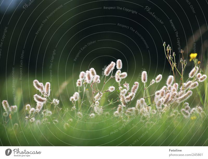 Geburtstagsblümchen Natur Pflanze Sommer Wiese Gras Garten Landschaft Umwelt hell natürlich Blumenwiese Wildpflanze