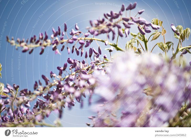 Wisteria Lane Umwelt Natur Pflanze Himmel Schönes Wetter Blatt Blüte Glyzinie Schmetterlingsblütler Kletterpflanzen Giftpflanze schön Farbfoto Außenaufnahme