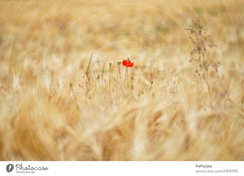kleines rot Natur Sommer Pflanze Sonne Landschaft Blume Tier Umwelt Feld Wachstum Erfolg Landwirtschaft Ernte Getreide Mohn