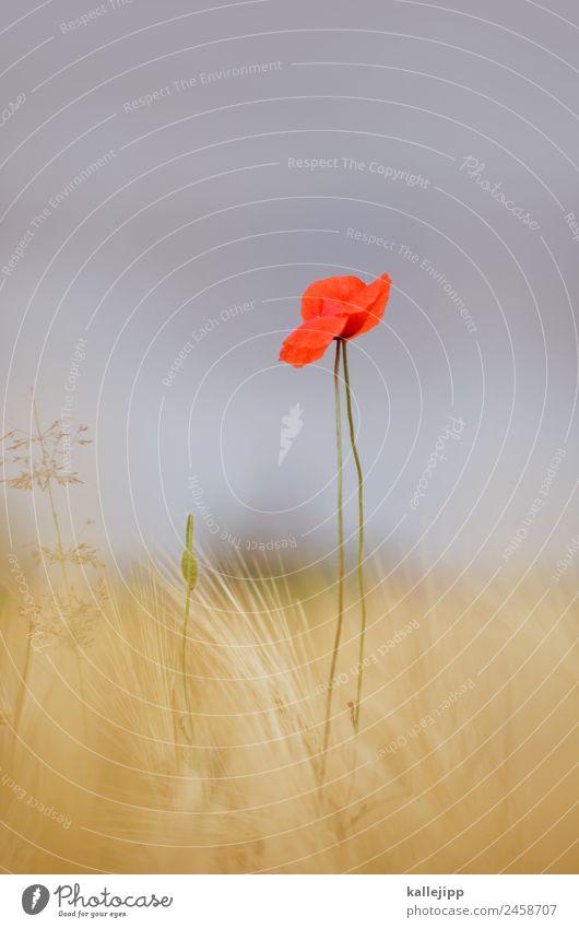 so´n sommer Umwelt Natur Landschaft Pflanze Tier Himmel Horizont Sommer Klima Wetter Schönes Wetter Wärme Gras Blatt Blüte Nutzpflanze Feld gelb gold rot Mohn