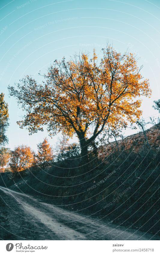 Sonnenuntergangslicht, das die gelben Blätter eines Baumes im Winter beleuchtet schön Berge u. Gebirge Garten Umwelt Natur Landschaft Pflanze Himmel Herbst