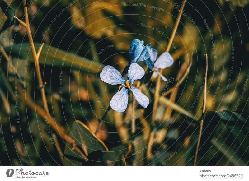 Nahaufnahme der Rafanus-Fliederblüte mit Sonnenuntergangslicht schön Sommer Garten Umwelt Natur Pflanze Blume Sträucher Blatt Blüte Grünpflanze Nutzpflanze