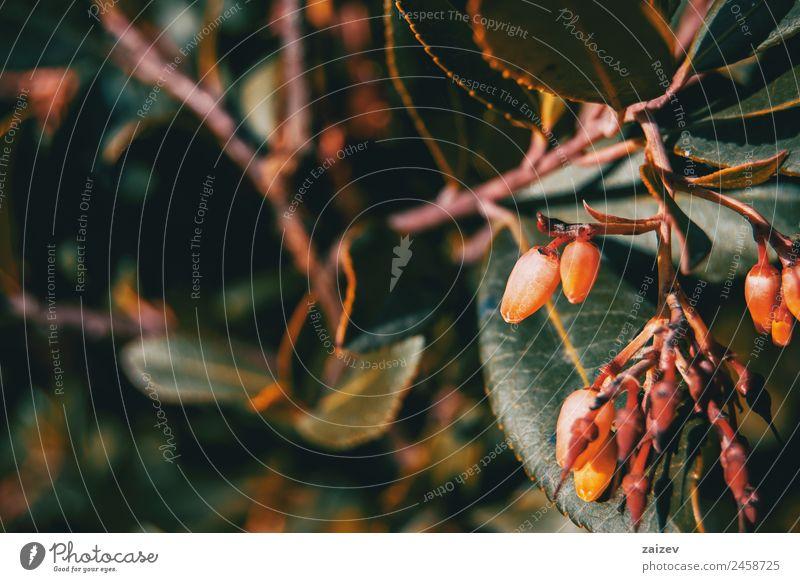 Nahaufnahme von Arbutus unedo-Blüten in der Natur schön Sommer Garten Pflanze Baum Blume Sträucher Blatt Grünpflanze Nutzpflanze Wildpflanze Park Wiese Feld