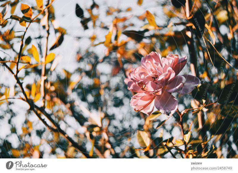 Nahaufnahme einer isolierten rosa Blume einer Rose schön Ferien & Urlaub & Reisen Sommer Garten Umwelt Natur Pflanze Schönes Wetter Sträucher Blatt Blüte