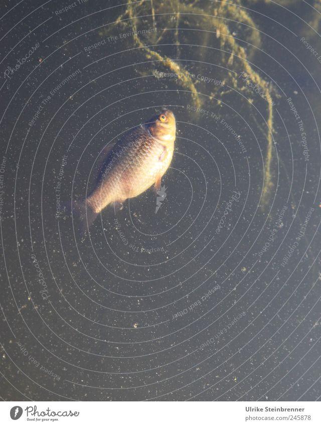 Hitzeopfer II Tier Tod Schwimmen & Baden natürlich Fisch Vergänglichkeit Im Wasser treiben Haustier Teich Aquarium stagnierend verlieren Algen Grünpflanze