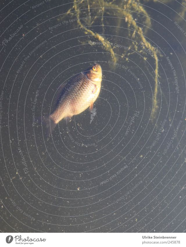 Hitzeopfer II Tier Tod Schwimmen & Baden natürlich Fisch Vergänglichkeit Im Wasser treiben Haustier Teich Aquarium stagnierend verlieren Algen Grünpflanze Umweltverschmutzung Flosse