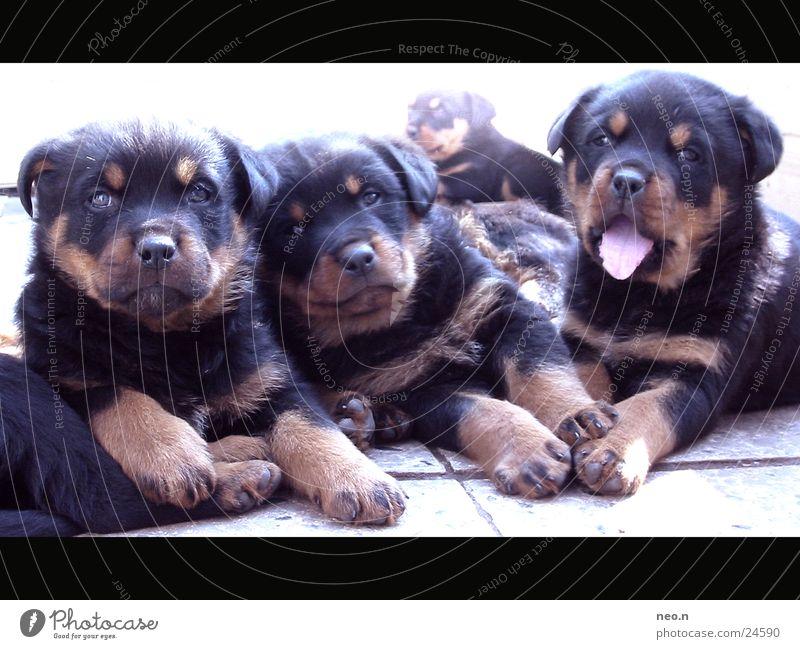Carlo, Elba und Panja Freundschaft Fell Haustier Hund kuschlig niedlich braun schwarz Welpe Rottweiler Säugetier gähnen Kuscheln Tierjunges Hundekopf Hundeblick