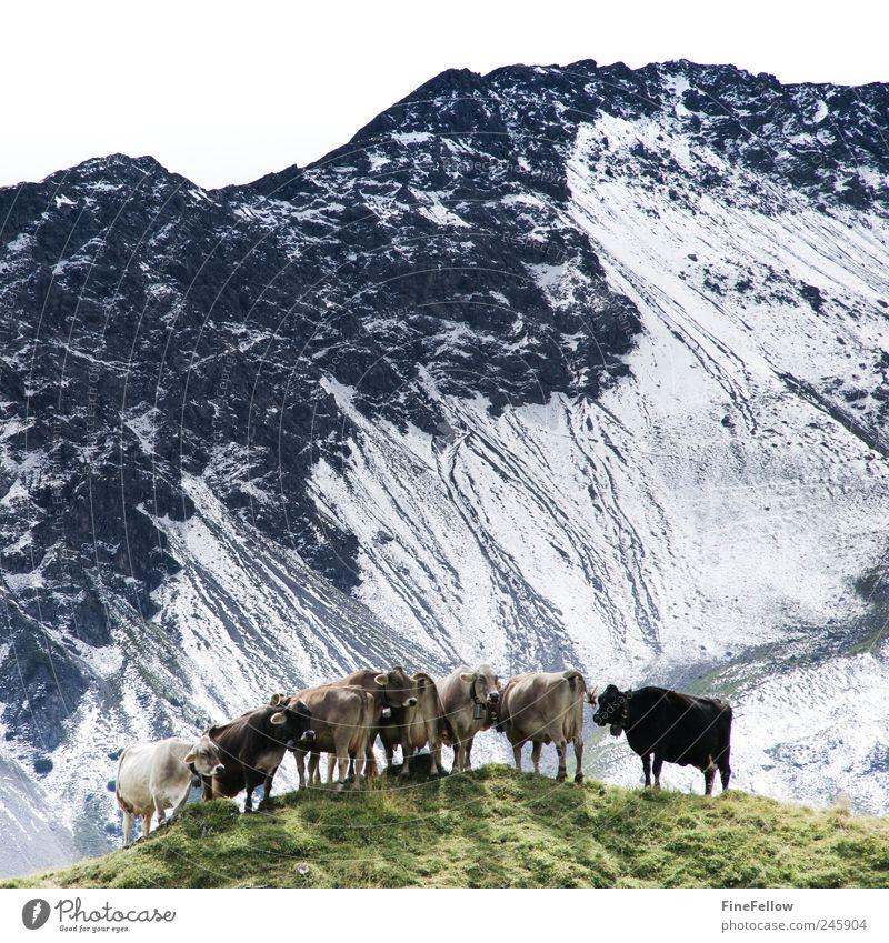 Aussichtspunkt Landschaft Tier Sommer Alpen Berge u. Gebirge Schneebedeckte Gipfel Nutztier Kuh Herde beobachten Erholung gehen Blick stehen wandern warten
