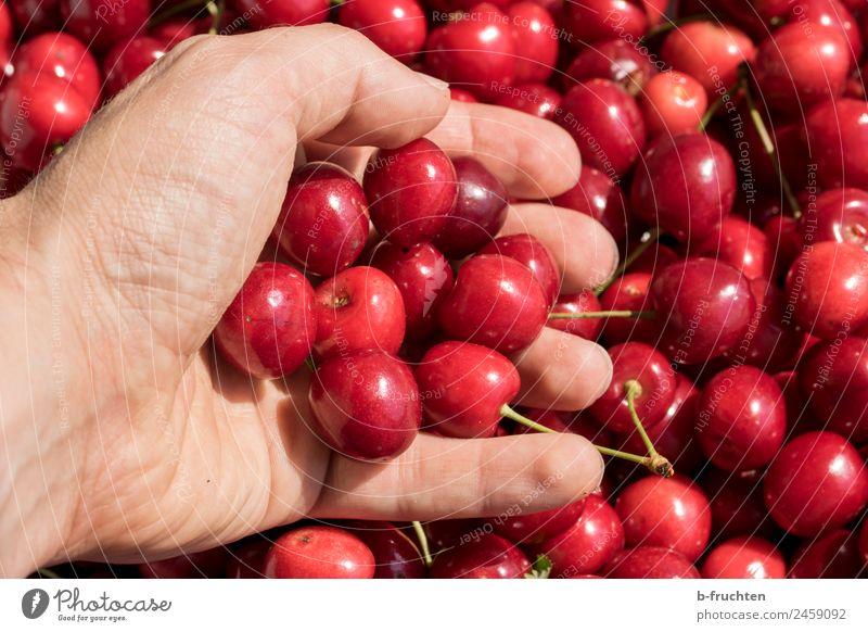 Kirschenernte Lebensmittel Frucht Bioprodukte Mann Erwachsene Hand Finger Sommer festhalten frisch lecker rot Ernte reif Süßwaren fruchtig viele Farbfoto