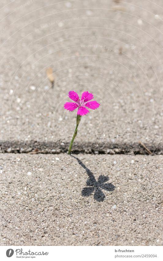Mauerblümchen Pflanze Blume Blüte Park Stein Beton Fröhlichkeit einzigartig Sauberkeit violett rosa Einsamkeit Leben Lebensfreude Leichtigkeit Straße Mauerstein