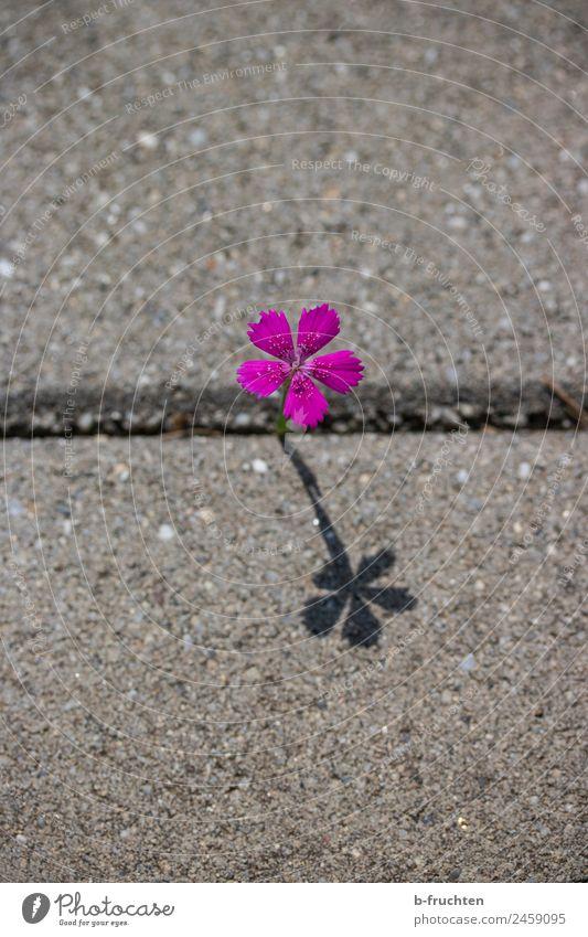 einsames Blümchen Blume Einsamkeit Straße Wand Blüte Wege & Pfade Mauer elegant Wachstum frisch Platz einzigartig einzeln Beton entdecken Betonplatte
