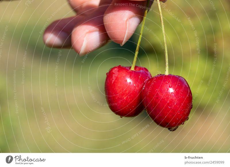 Kirschen Sommer Gesunde Ernährung Hand Lebensmittel Garten Frucht frisch Finger festhalten lecker Süßwaren Bioprodukte pflücken