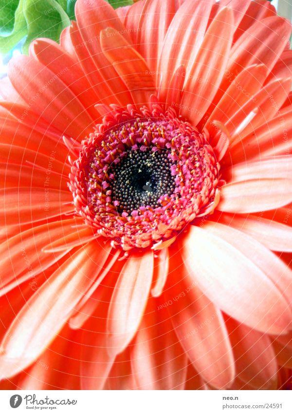 Flower Power Natur Pflanze Frühling Blume Blatt Blüte Blühend Duft Wachstum natürlich rosa rot Farbe Farbfoto Detailaufnahme Tag
