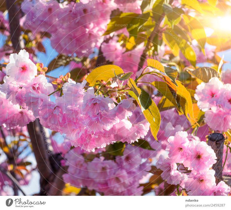 blühender Zweig einer rosa Kirsche Garten Natur Pflanze Baum Blume Blüte Park Blühend frisch natürlich weich Frühling Sakura Hintergrund Ast Überstrahlung