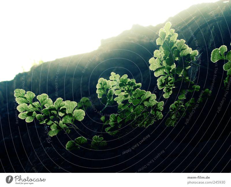 gegenlicht grün Pflanze Blatt Berge u. Gebirge Beleuchtung Wachstum Hoffnung leuchten aufwärts Farn Echte Farne Photosynthese Gegenlicht Felswand